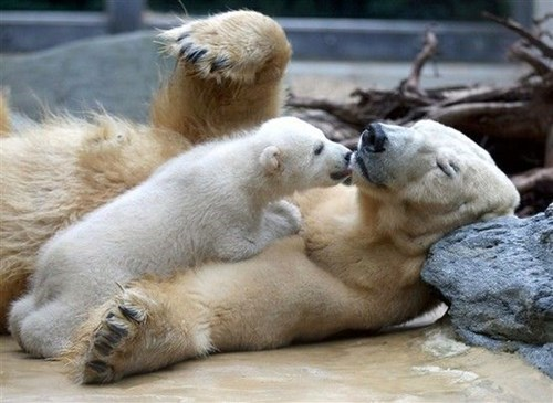 polar bear,kisses,cub,squee spree,mom