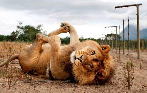 lions pose feet - 7622860032