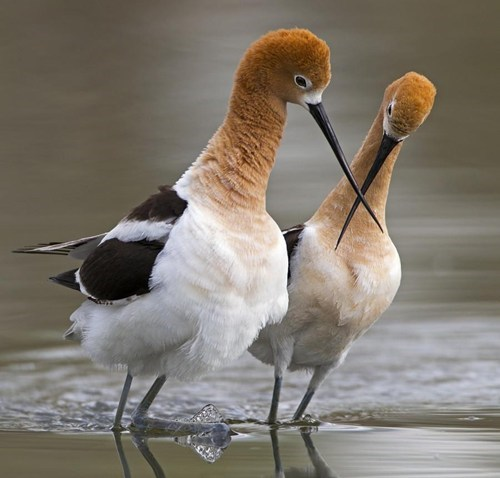 birds,avocet,american