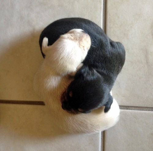 puppies,cute,ying and yang