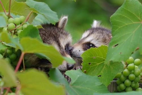 kisses forbidden fruit raccoons - 7625659136