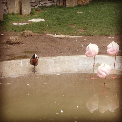 duck,flamingos,cute,mimicing