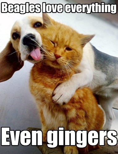 ginger cat beagle dogs