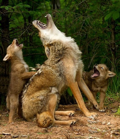 wolves good time howling family
