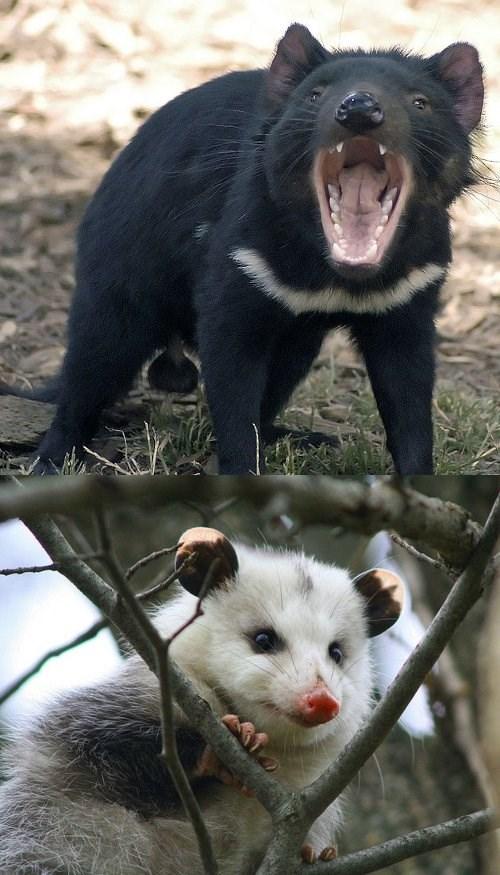 opossum,Tasmanian Devil,creepicute,squee spree