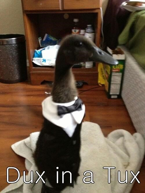fancy duck pun tux