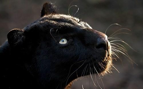 jaguar cute big cats - 7635640320