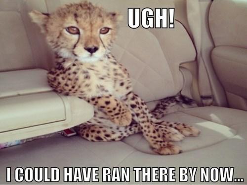 car run fast funny cheetah - 7642801920