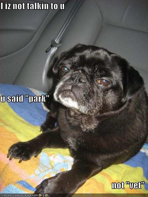 car cute lying park pug vet - 764497152