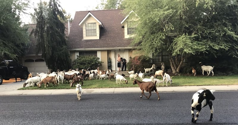 neighborhood herd goats - 7645445