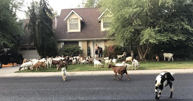 neighborhood herd goats - 7645445