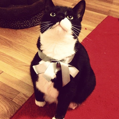 cat dapper bow