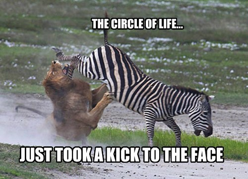zebra,kick,circle of life,lion,funny