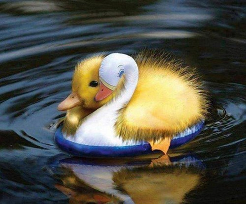 duckling,swimming