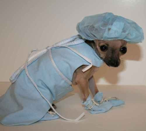 doctor chihuahua malpractice - 7650332928