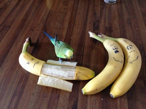 Max is the Budgie all Bananas Fear