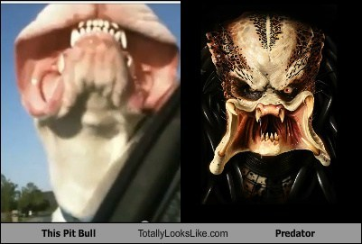 pitbulls,Predator,totally looks like,funny