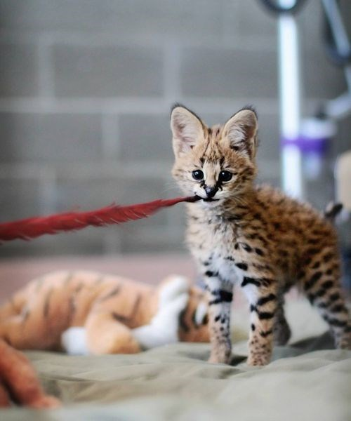 Baby Serval Cat
