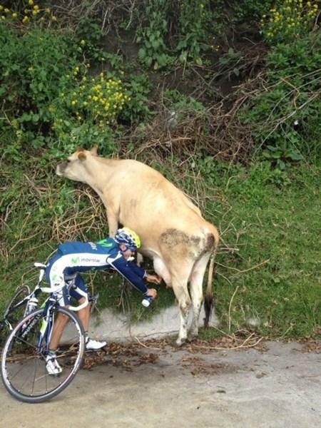 wtf milk bikes funny cows - 7655021568