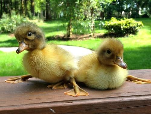 baby birds ducklings - 7661708800