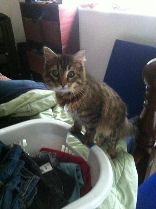 laundry,folding,Cats
