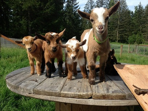 kids posing goats - 7666777344