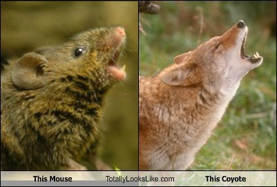 coyote,totally looks like,funny,mouse