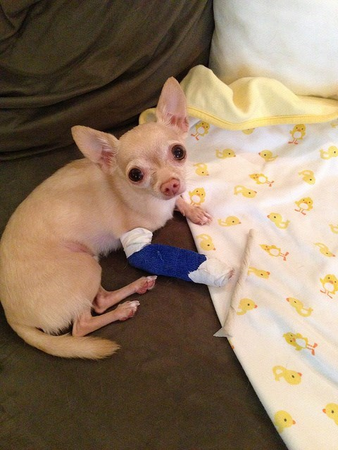 cast owie chihuahua dogs - 7670380288