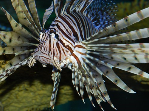 lionfish,water,poisonous,fish