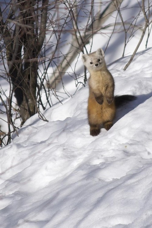 snow pine marten winter - 7671431680