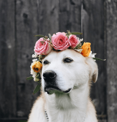 dogs with flower crowns that make the music festival Coachella