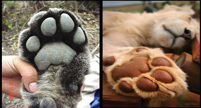 murder mittens cute toe beans big cats Cats - 7673093