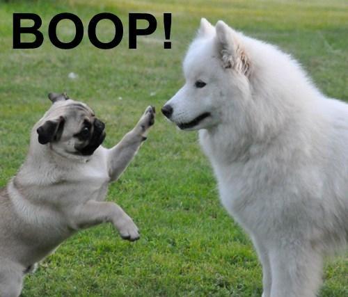 boop,cute,nose