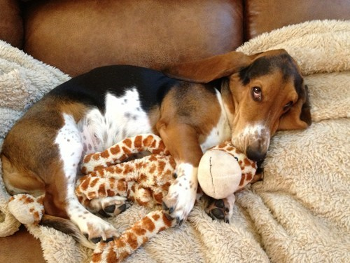 dogs cuddle bestest friends giraffes - 7676028160