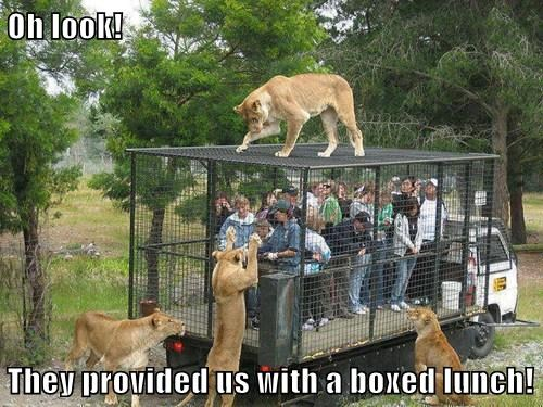 boxed lunch,lions,open,funny,safari