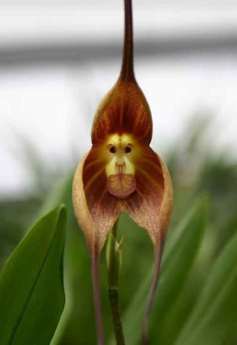 monkey orchid,science,plant,funny