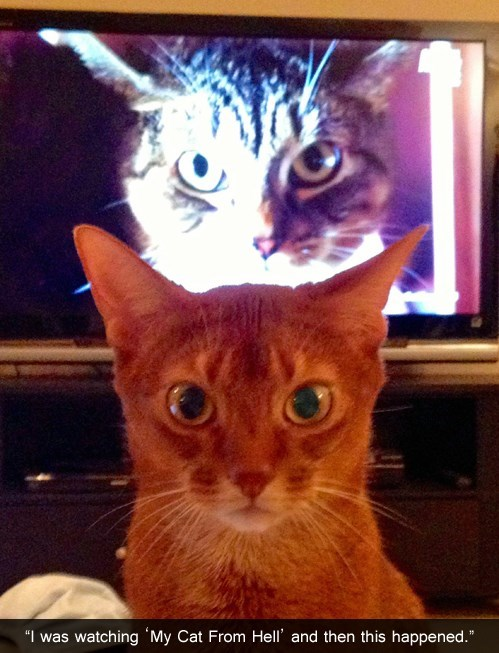 my cat from hell,stare,TV,funny
