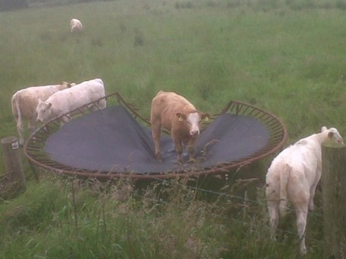 trampoline funny cows fail nation g rated