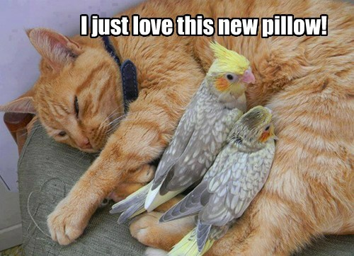 Pillow tweeting birds Cats funny twits - 7678206720