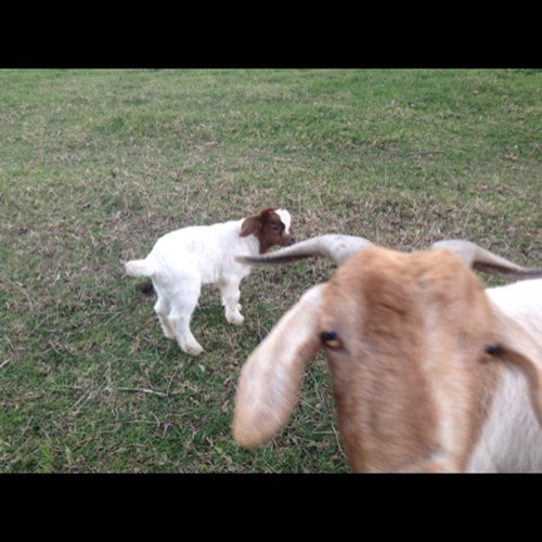 photobomb kids goats funny - 7678720768