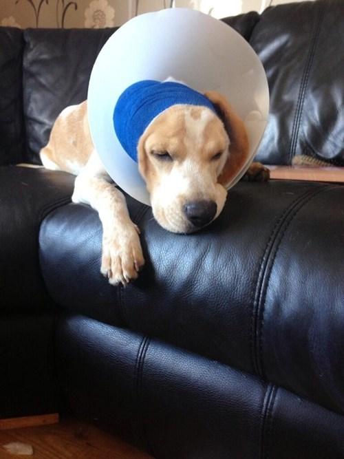 puppy beagle injured - 7679403008