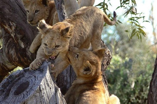lions,cubs,play