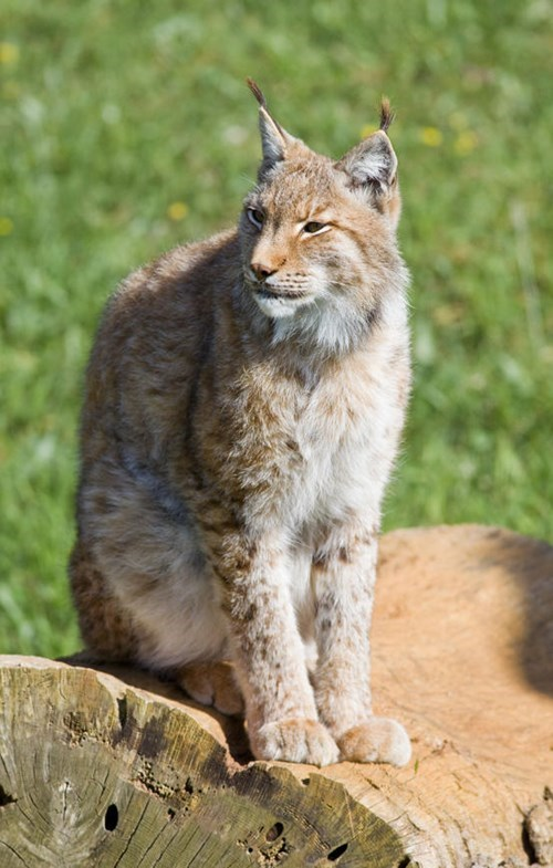 extinction science lynx animals - 7683499264