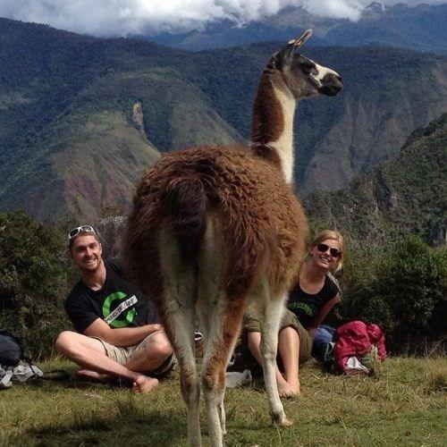 photobomb,llamas,funny