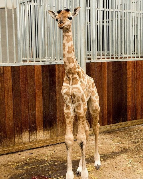 calf,giraffes