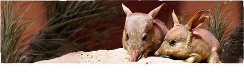 royal baby australia people pets bilbies - 7686220800