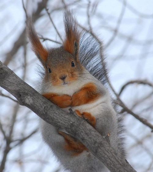 ears squirrel fuzzy - 7686822144