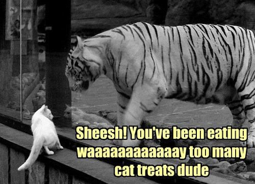treats fat tigers oversized Cats funny