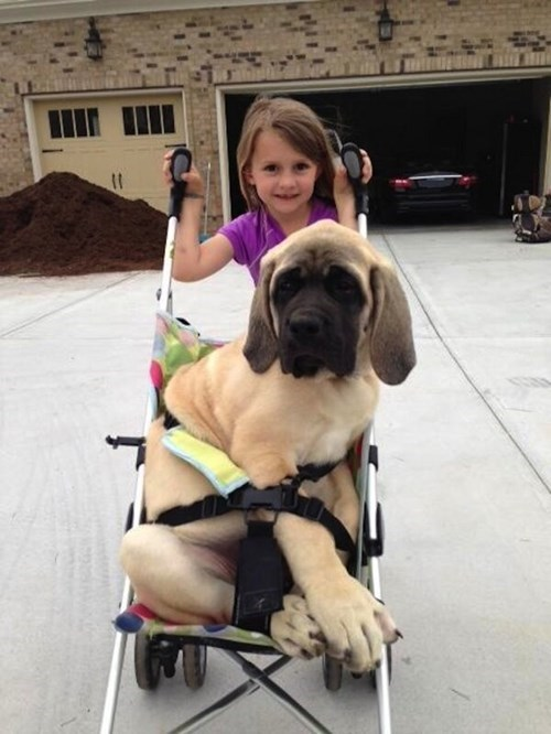 dogs if i fits i sits stroller funny - 7688690432