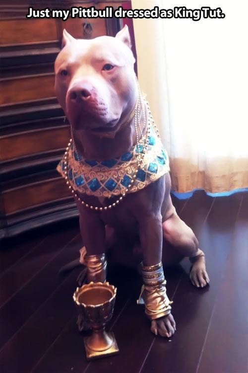 pharoah,tut,tutankhamun,pup